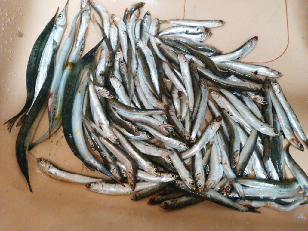 仁尾新港で大量にイワシとサヨリが